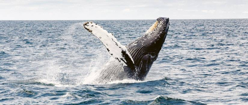 humpback whale jumping out of the ocean