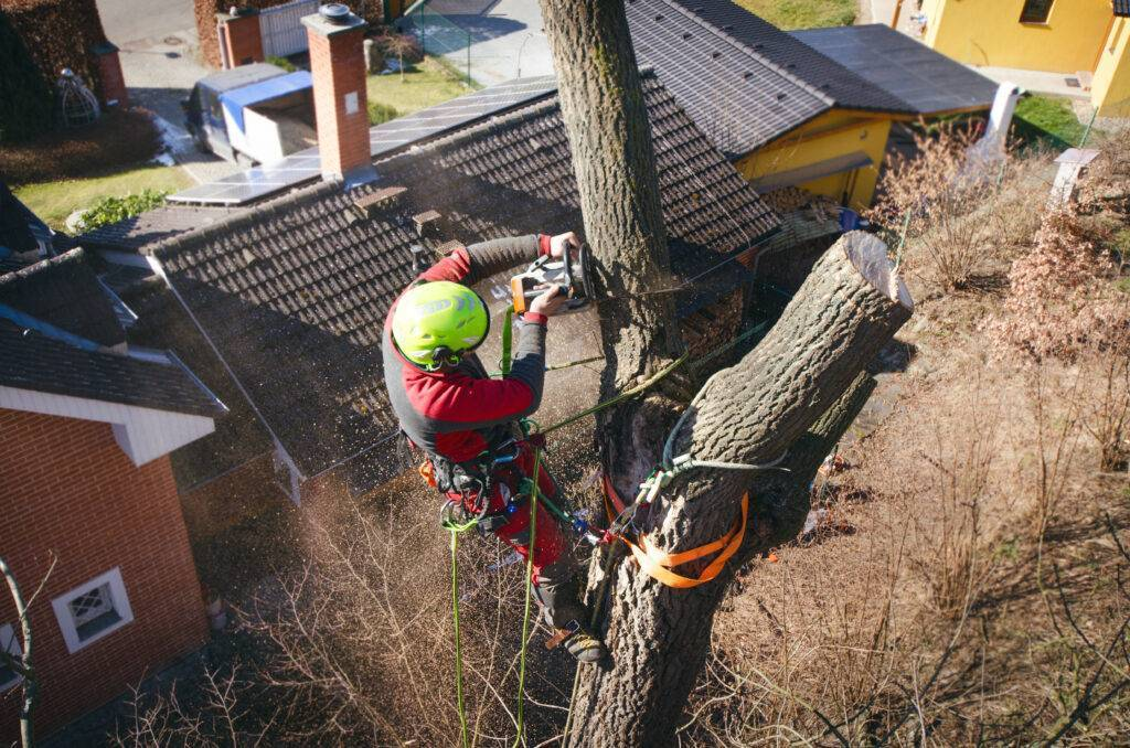 A tree surgeon working at height in a tree, using a chainsaw that has an average noise level of between 106 and 115 decibels.