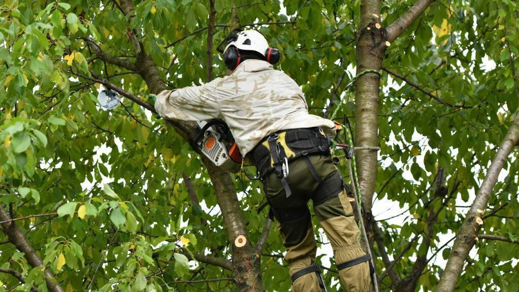 An arborist working at height with noisy equipment in the tree surgery industry.